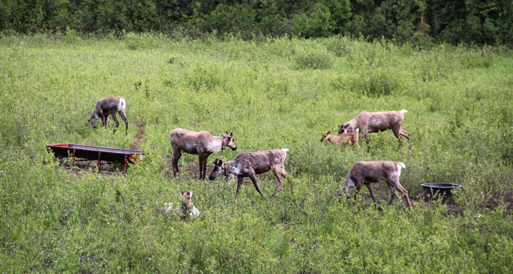 Caribou in the Klinse-za maternal pen near Chetwynd, B.C., in June 2015. Tristan Brand photo.