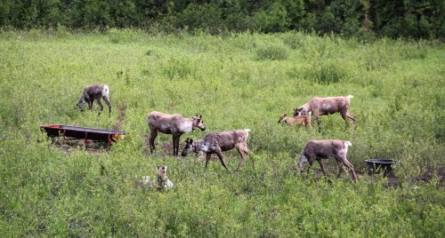 Bob's Weekly Report – Consultation needed on caribou recovery plan