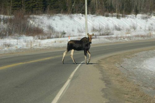 Live Moose with White legs Ð photo credit Roy Rea (near Prince George)