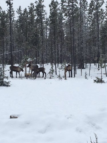 Caribou killed and left near Mackenzie