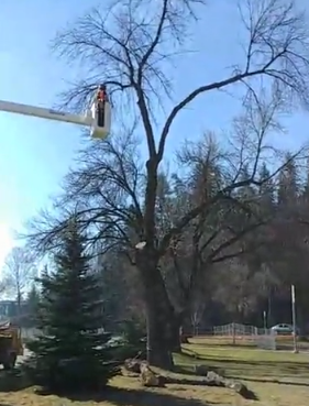 City Hall trees come down for parkade