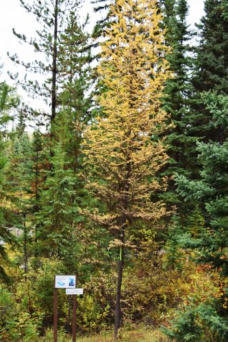 A tamarack tree from Kapuskasing, Ontario in its full fall splendour.