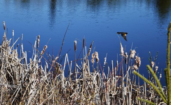 A red winged blackbird takes flight over the Western Acres Wetland near Beaverly. Bill Phillips photo
